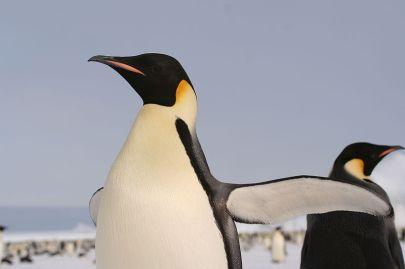 Pingwin cesarski /źródło wikipedia.pl