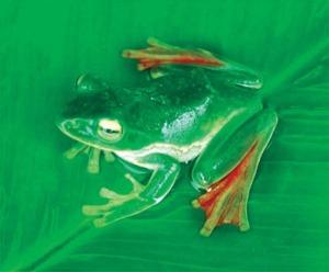 Latająca żaba /© Totul Bortamuli - WWF Nepal