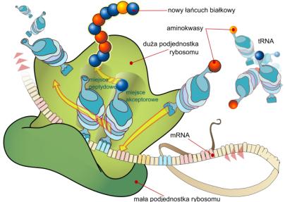 Translacja z RNA na białko w rybosomie /www.wikipedia.pl