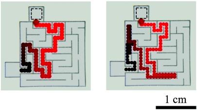 """Na obrazku po lewej kropla z barwnikiem od razu znalazła najprostszą ścieżkę do wyjścia z labiryntu. Na obrazku z prawej dwukrotnie """"pobłądziła"""" ostatecznie jednak znajdując właściwą drogę. / Przedruk za zgodę ACS: JACS 132(4): 1198–9 ©2010"""