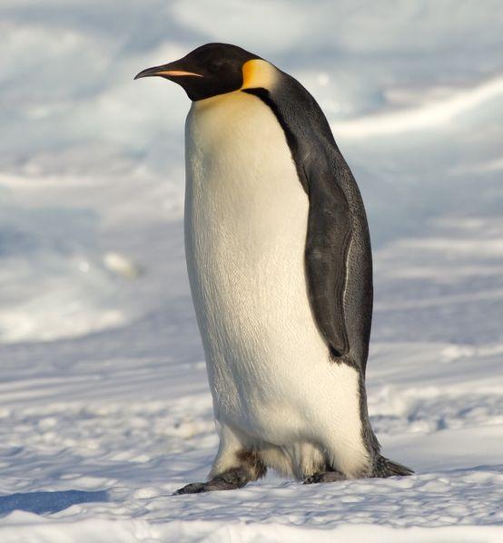 Pingwin cesarski z niemarznącymi stopami /www.wikipedia.org