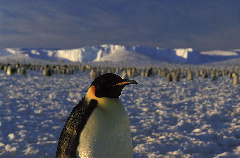 Pingwin cesarski. /źródło: wiki; Hannes Grobe (CC BY 3.0)