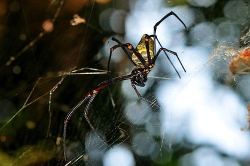 Pająk z gatunku Nephila antipodiana, którego sieć badana była w pracy./ źródło: flickr; spiderman (Frank); (CC BY-NC-SA 2.0)