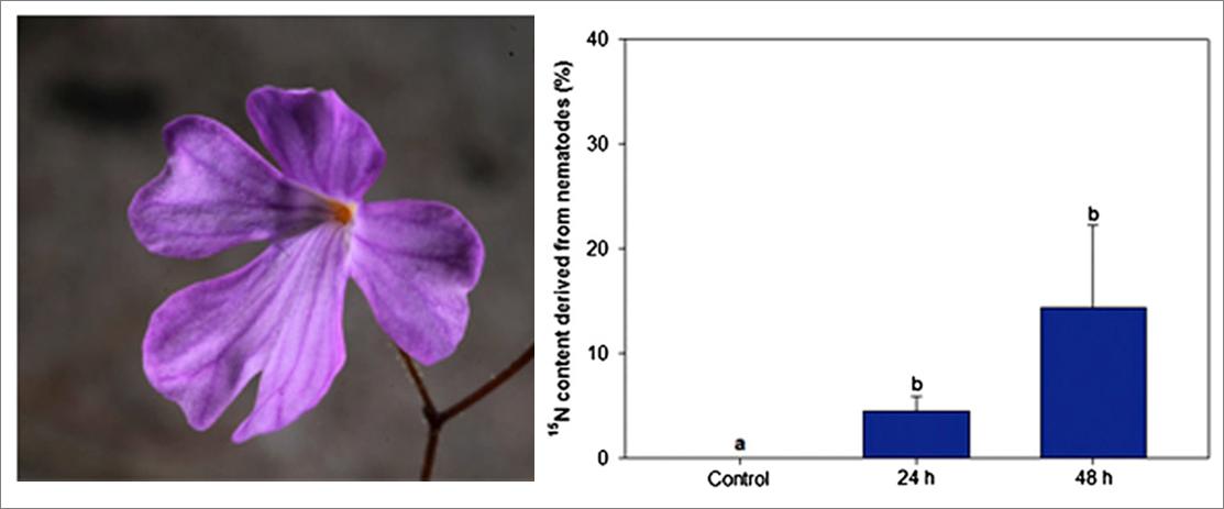 Po lewej zbliżenie na kwiat P.mimensis. Po prawej - wyniki pomiarów poziomu azotu w roślinach po 24 i 48 godzinach. Zawartość azotu 15 podana jest procentowo w stosunku do całego azotu w próbce - widać wyraźnie 5% wzrost zawartości znacznika po 24 godzinach, zaś jeszcze wyraźniej: skok do 15% (chociaż obarczony też sporym błędem) po 48. / źródło: PNAS, Pereira et al. (publ online Jan 9) ©2012