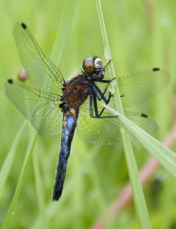 Ważka Leucorrhinia intacta. /źródło: wiki; Chaparraltree (CC BY-SA 3.0)
