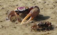 kraby uca