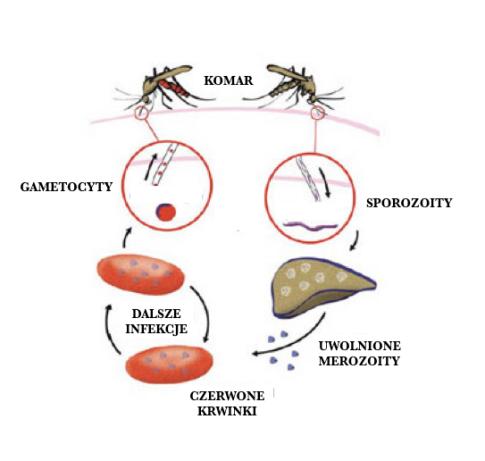 cykl malarii
