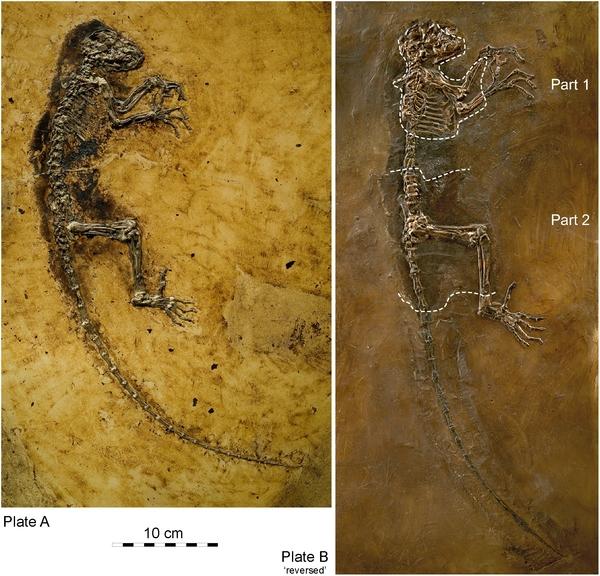 Szkielet Idy. /Przedruk za Franzen et al., PLoS ONE (2009) 4(5): e5723 (CC BY)