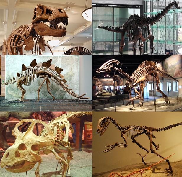 Trudno ocenić, ile z tych pięknie wyglądających szkieletów dinozaurów jest prawdziwych, a ile zrekonstruowanych na podstawie kilku, kilkunastu tylko kości.../ źródło: wiki; Cadiomals (CC BY-SA 3.0)