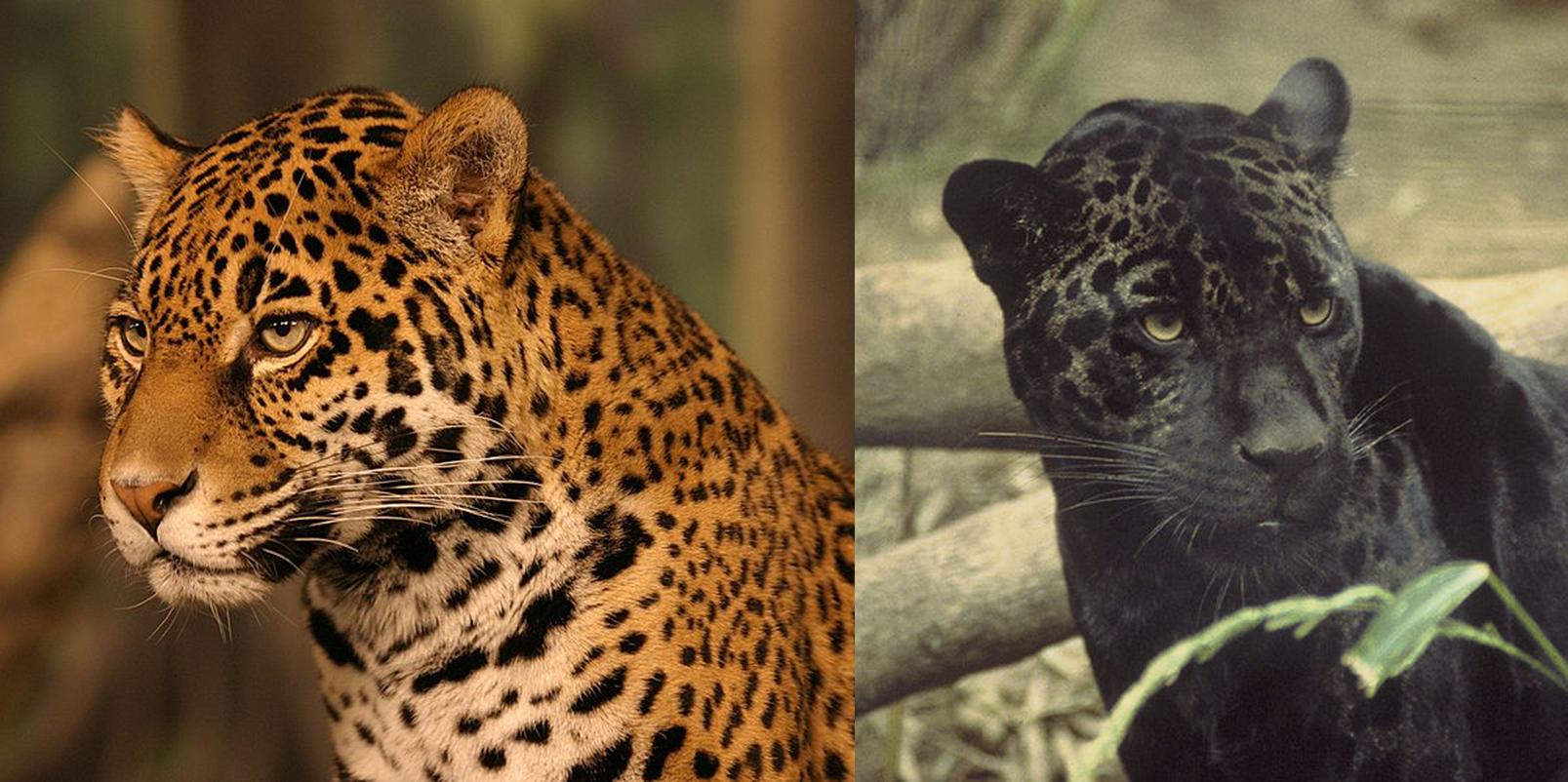 Przykład polimorfizmu u jaguarów. /źródło: wiki; żółty jaguar: Cburnett (CC BY-SA 3.0); czarny jaguar: domena publiczna