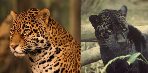 polimorfizm jaguarów