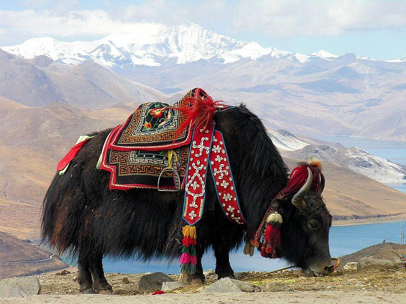 Tybetański, urodziwy jak. /źródło: flickr; Dennis Jarvis (CC BY-SA 2.0)