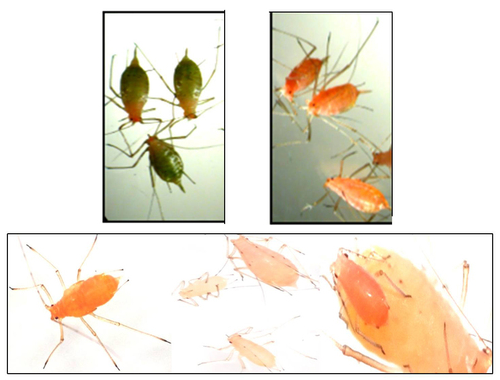 Trzy różnokolorowe fenotypy mszyc: zielone, hodowane w zimnych warunkach, pomarańczowe, hodowane w warunkach ciepłych, oraz białawe (na dole) określane też jako bladożółte, które pojawiały się przy dużym zagęszczeniu owadów. /źródło: Valmalette et al., Sci Rep (2012) 2:579 (CC BY-NC-SA)