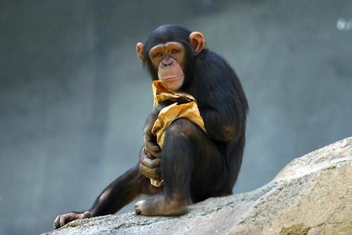 Szympansy nie odróżniają ofert uczciwych od ofert, które z ludzkiego punktu widzenia są ewidentnie nie fair. Jedzenie to po prostu jedzenie./źródło: wiki; Quadell (CC BY 2.5)