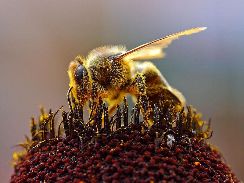 Pszczoła miodna zbierająca nektar. /źródło: wiki (domena publ.)