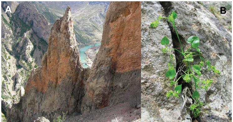 B.chouardii - w panelu A - siedliska (czyli pirenejskie klify i przepaście). W panelu B - kwitnący osobnik męski. /źródło: Garcia et al., PLoS ONE 7(9): e44657 (CC BY 3.0) ©2012