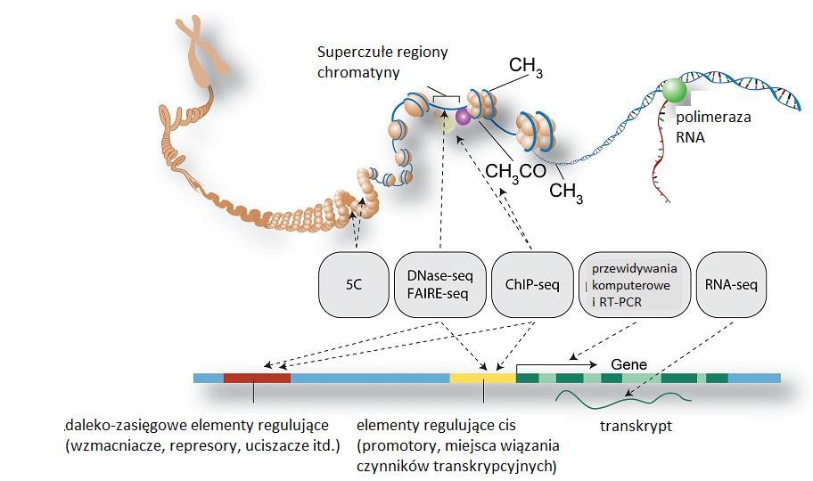 W projekcie ENCODE oprócz opisywania genów próbowano też opisać stan chromatyny, jej miejsca superczułe (nie wiem nawet, jaka jest poprawna polska nazwa, po ang. to hypersensitive sites), metylowane cytozyny (oznaczone jako 5C), różnorakie elementy regulujące - czyli fragmenty nici DNA, które nie kodują białek a mimo to są niezbędne do funkcjonowania organizmu. Używane metody to np. DNA-seq, czyli sekwencjonowanie DNA, RNA-seq, czyli sekwencjonowanie RNA (tu na myśli autorzy mają głównie sekwencjonowanie następnej generacji, o którym wkrótce w serii Genomowe zatrzęsienie - niestety póki co z ENCODE wybiegamy bardzo naprzód), ChIP-seq czyli test immunoprecypitacyjny chromatyny połaczony z sekwencjonowaniem, PCR i tak dalej, i tym podobne. /źródło: The ENCODE Project Consortium, PLoS Biol 9(4): e1001046. doi:10.1371/journal.pbio.1001046 (CC BY ©2011)