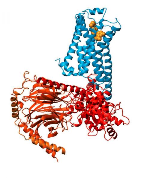 Struktura krystaliczna opisana w 2011 przez Kobilke: na niebiesko zaznaczony jest receptor GPCR, na czerwono - białko G, na żółto zaś związany z receptorem hormon. /źródło: materiały prasowe Komitetu Noblowskiego