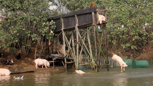 Czy świnia naprawdę ciekawsza jest od wielbłąda? Jeśli pływa i nurkuje dla przyjemności, jak donosi niemiecka agencja prasowa dpa, to może jednak...