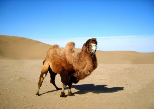 Chiński wielbłąd dwugarbny - jeden ze zsekwencjonowanych osobników. /Przedruk za zgodą Macmillan Publishers Ltd.: Jirimutu et al., Nat Commun 3: 1202 ©2012