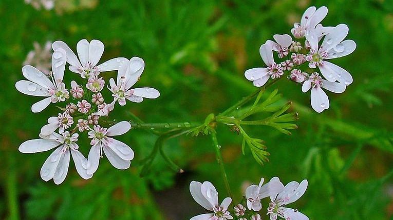 Kolendra siewna. /źródło: wiki, Llez (CC BY-SA 3.0)
