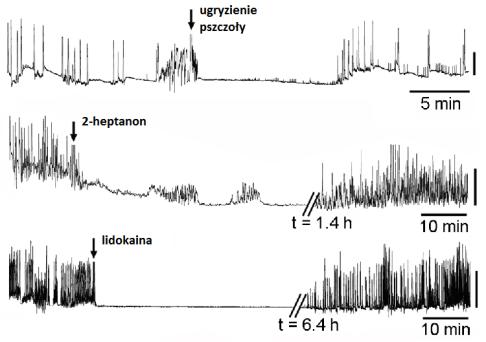 Porównanie działania 2-heptanonu i lidokainy. /źródło: Papachristoforou et al., PLoS ONE 7(10): e47432; doi:10.1371/journal.pone.0047432 (2012)