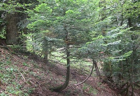 Wpływ geotropizmu na wzrost drzewa. /źródło: wiki; Rbastien (CC By-SA 3.0)