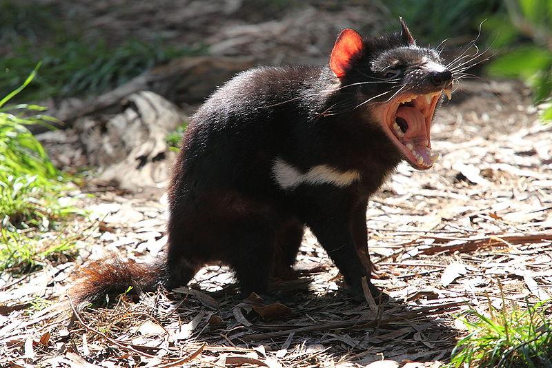 Diabeł, chociaż raczej nie taki od opętać. Bo każdy temat jest dobry, żeby we wpisie umieścić zdjęcie przytulnego zwierzaka. /źródło: wiki; Chen Wu (CC BY 2.0)