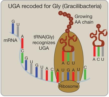 U niektórych bakterii kodon UGA nie jest kodonem stop; zamiast tego koduje glicynę. /źródło: Rinke et al., Nature (CC BY-NC 2.5)