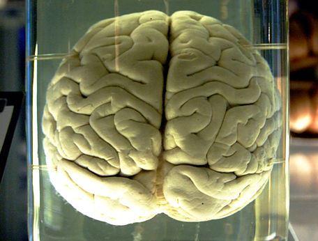 Szympansi mózg. Z dużym prawdopodobieństwem także niepolarny. /źródło: wiki; Gaetan Lee (CC BY)