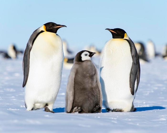 Rodzina pingwinów cesarskich, które nigdy nie zasmakują w przepysznych słodkościach. /źródło: flickr, Christopher Michel (CC BY)