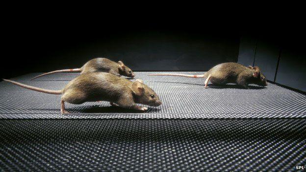 Myszy wyleczone redagowaniem genów z dystrofii mięśniowej. /źródło: BBC