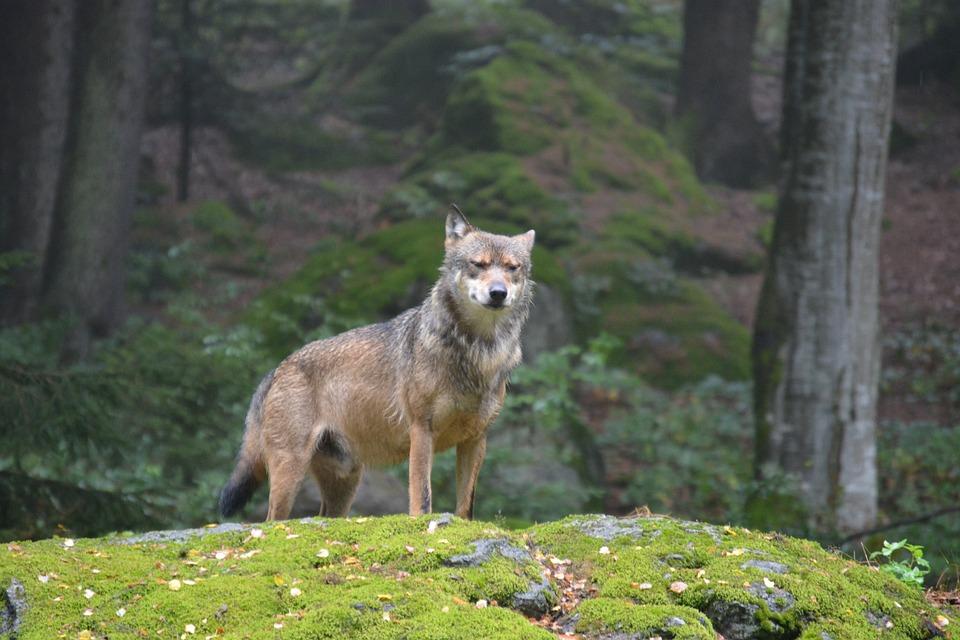 wolf-926333_960_720