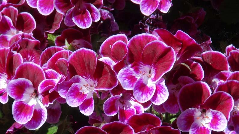 Pelargonium-ANGEL-Henry-Weller